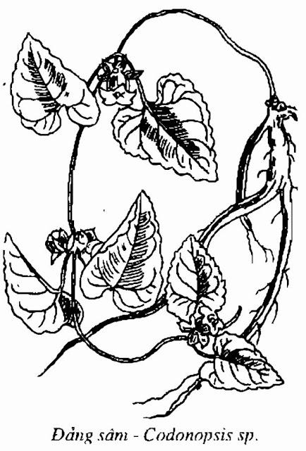 HÌNH VẼ ĐẢNG SÂM - Codonopsis sp - Nguyên liệu làm Thuốc Bổ, Thuốc Bồi Dưỡng
