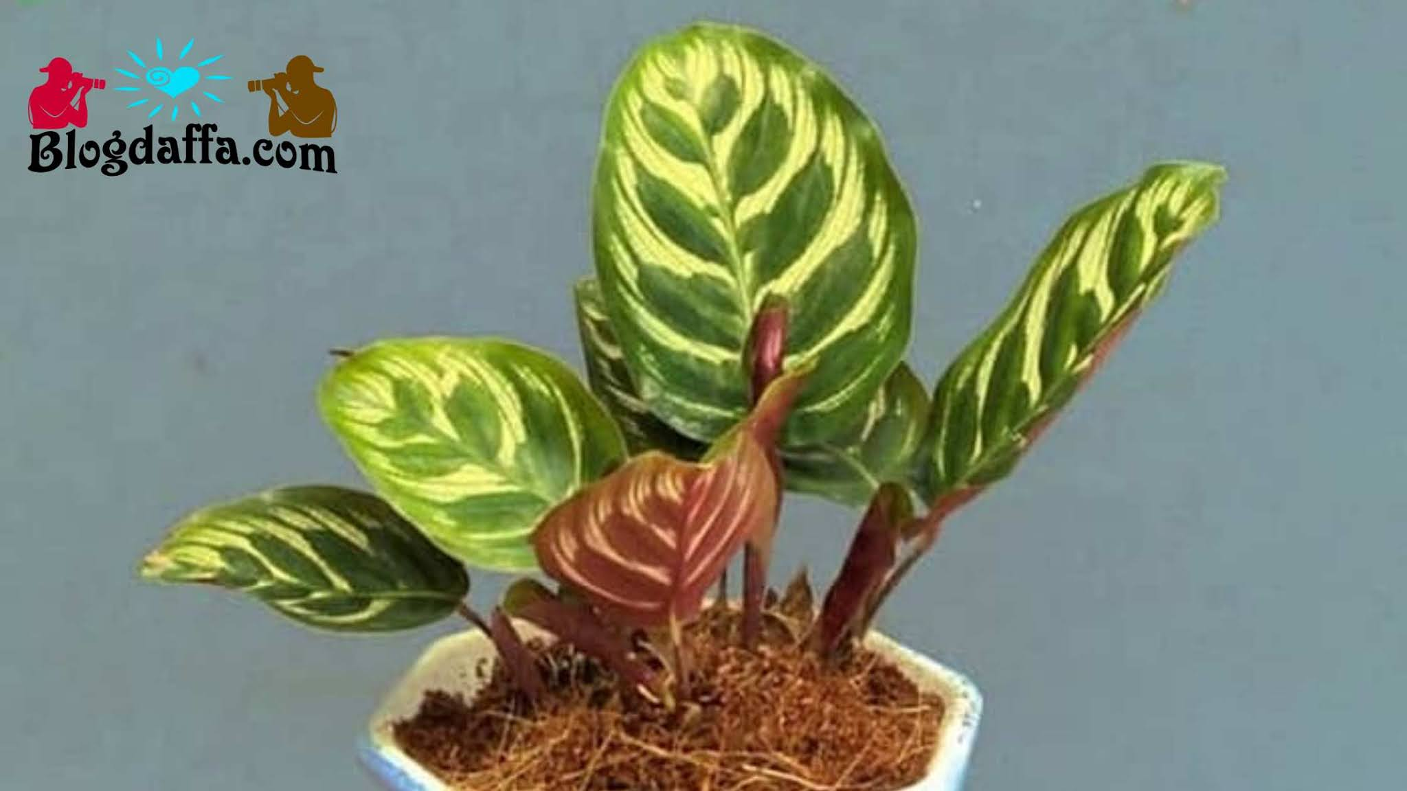 Jenis calathea makoyana