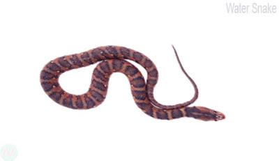 Water snake,ঢোঁড়া সাপ; জল সাপ