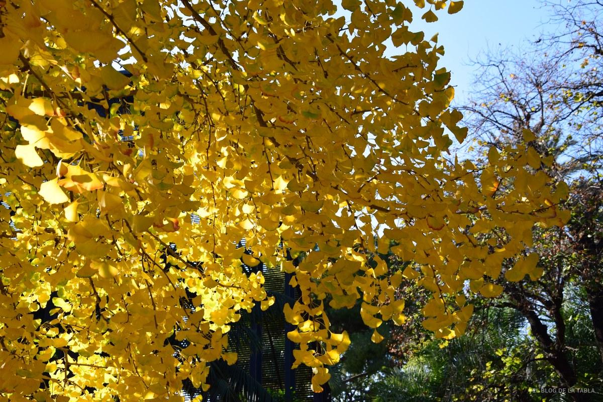 hojas de ginkgo biloba