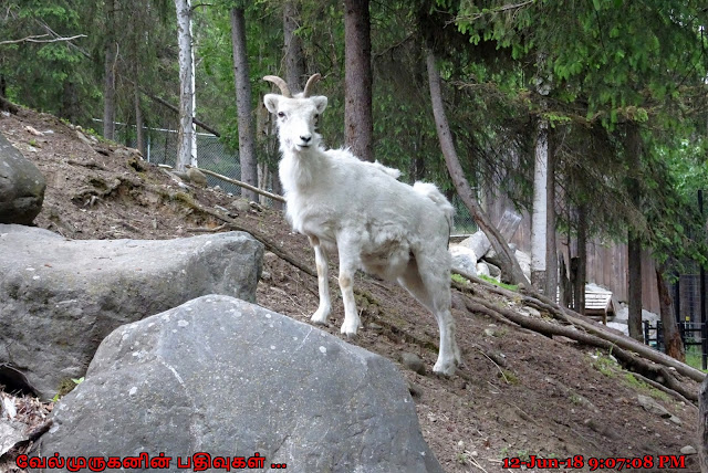 Alaska Zoo Dall Sheep