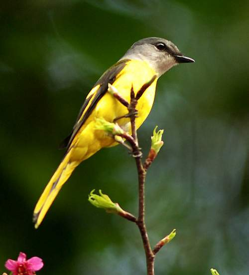 Birds of India - Image of Grey-chinned minivet - Pericrocotus solaris