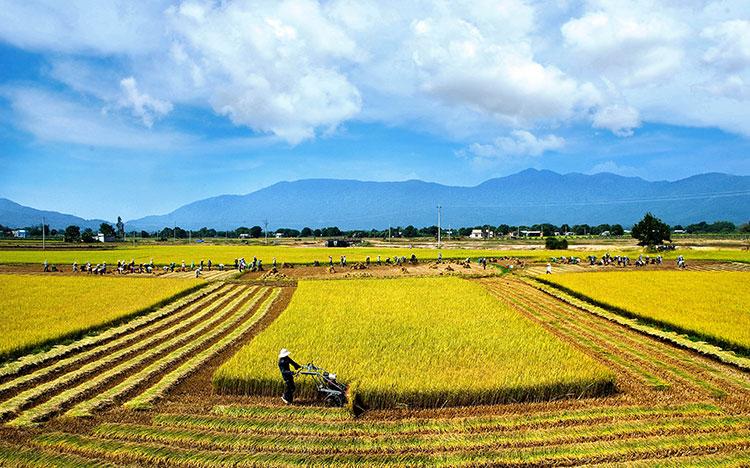 Cú ngã đau của các nhà xuất khẩu gạo Việt Nam