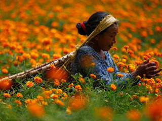 A woman surrounded by tall marigold plants. She has a large basket on her back that is held on by a strap across her head.