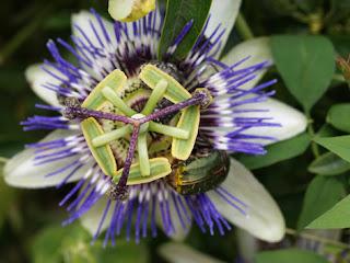 Pasionaria (Passiflora)