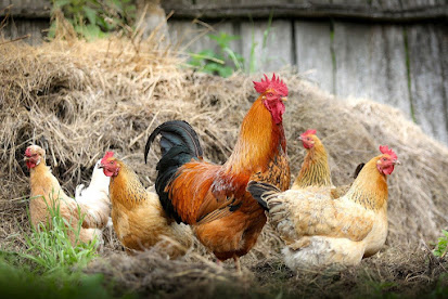 Ayam jago dan betina