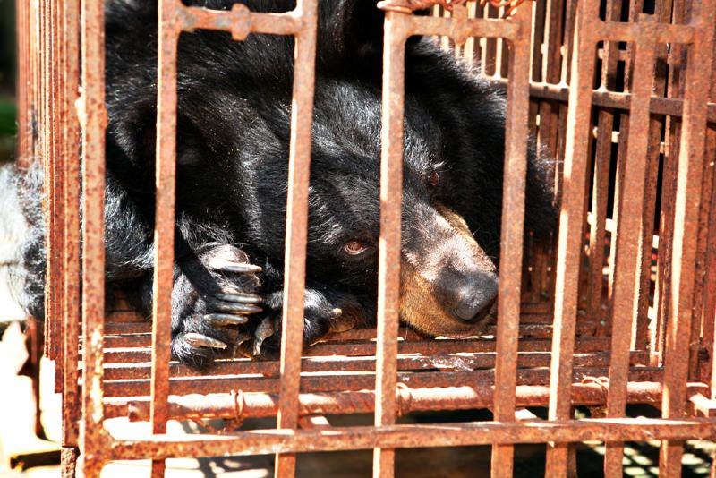 Urso-negro-asiático em cativeiro numa jaula de dimensões reduzidas para a extração da bílis