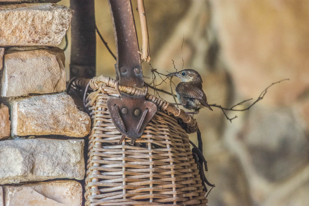 carolina wren building nest in basket