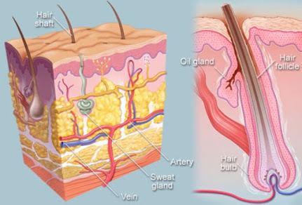 The hair follicles and hair bulbs