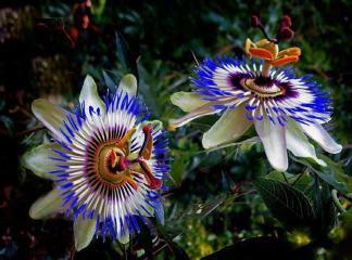 Passiflora Bitki Çayı