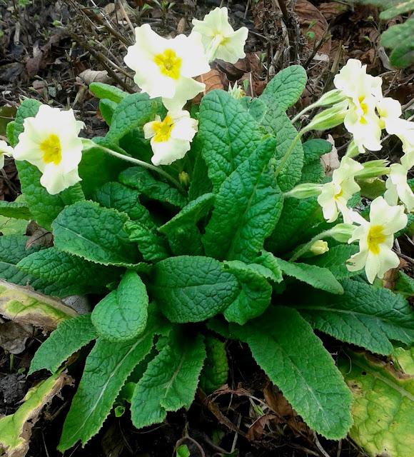 Primrose Primula vulgaris