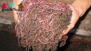 Cara panen cacing tanah