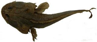 Batrachoididae Nedir?