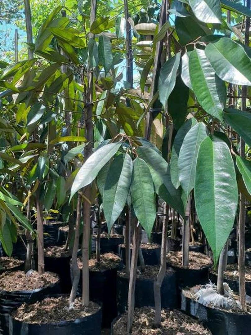 Bibit Durian Kane Cane Pematangsiantar