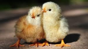 Pakan Ayam Joper Biar Cepat Besar Dan Mudah Di Dapatkan