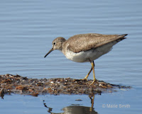 Solitary sandpiper in a stream in Summerside, PEI – Aug. 7, 2017 – © Marie Smith