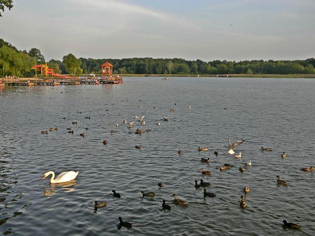 fauna jezior, łabędzie, krzyżówki, łyski