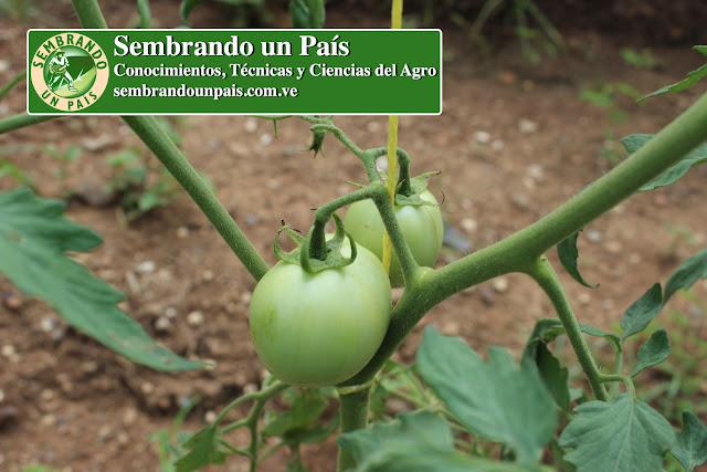 fruto del tomate en desarrollo