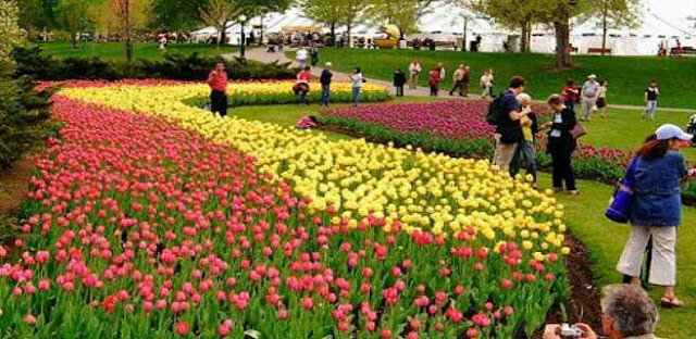 The Famous Tulip festival takes place in?