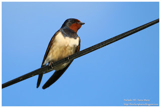 https://bioclicetphotos.blogspot.fr/search/label/Hirondelle%20rustique%20-%20Hirundo%20rustica