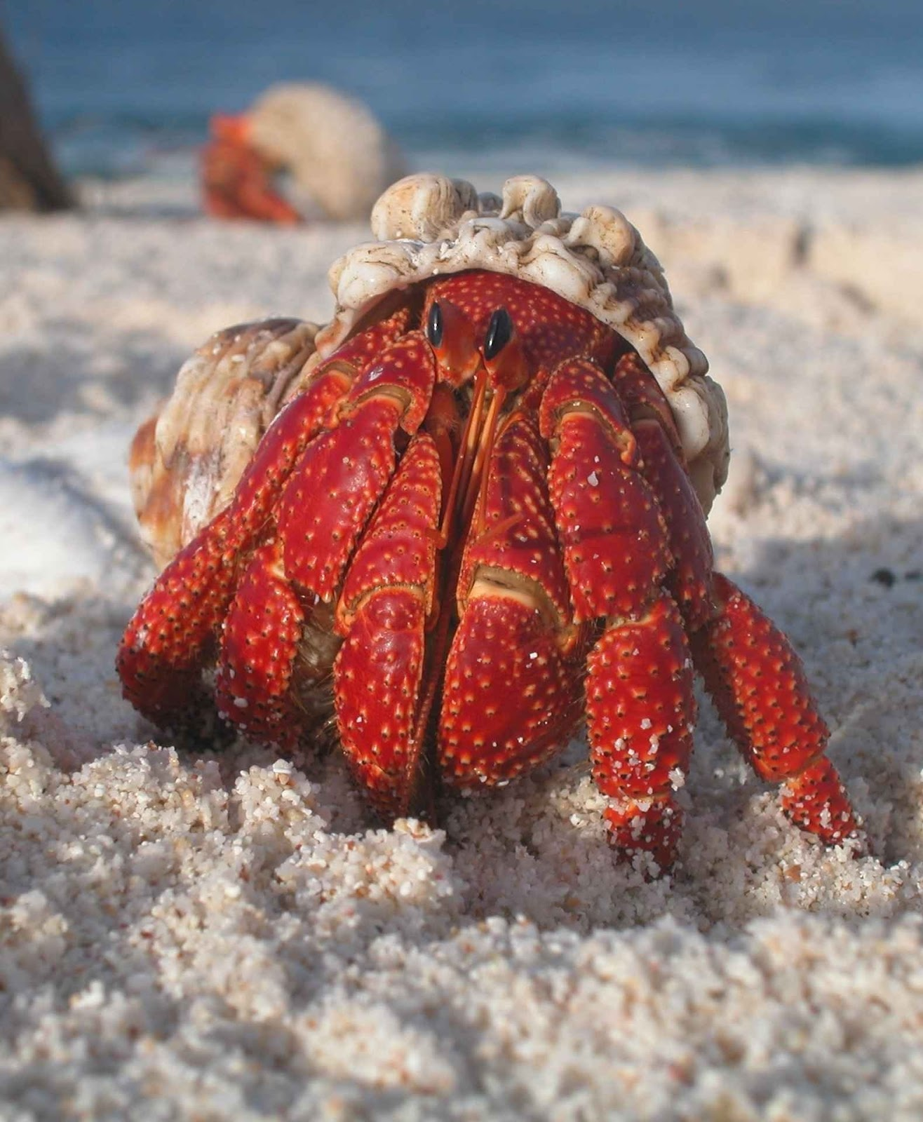 Picture of a hermit crab.