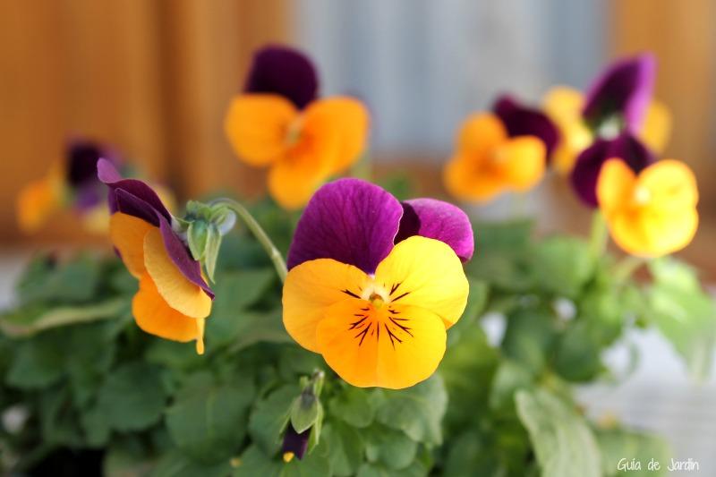 Viola cornuta, una bienal muy habitual en nuestros jardines