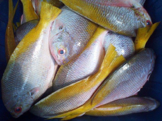 Budidaya Ikan Ekor Kuning di KJA dan Tambak