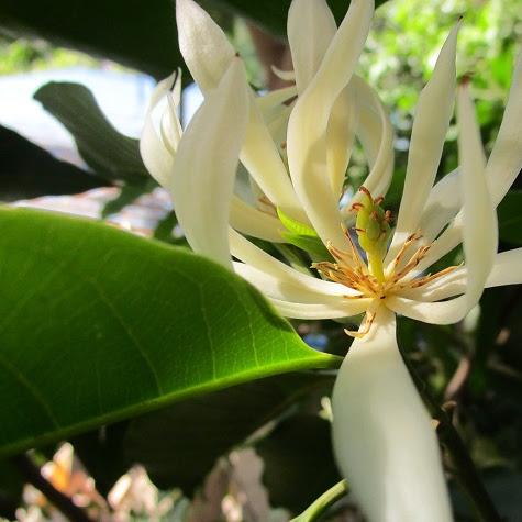 Bunga Cempaka : Karakteristik, Jenis-jenis, Cara Menanam Dan Merawat {Bunga Kantil}