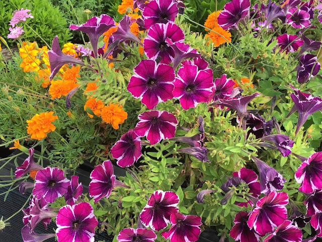 Blühende Blumen lila