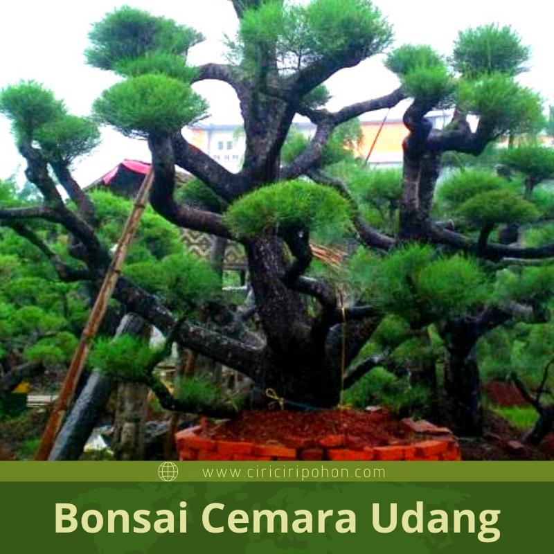Mengenal Dan Mengetahui Proses Bonsai Cemara Udang Ciriciripohon Com
