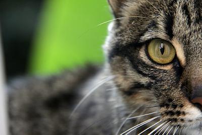 Sejarah Ras Kucing Russian Tabby