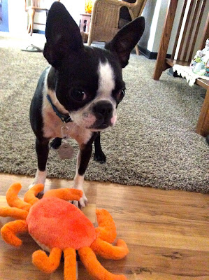 Sinead the Boston terrier and her toy