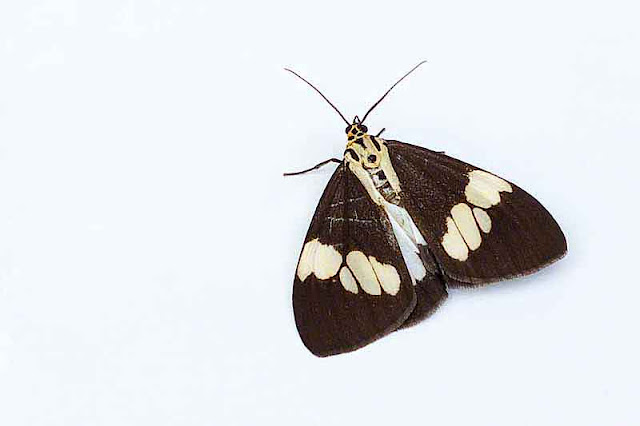 butterfly, white background
