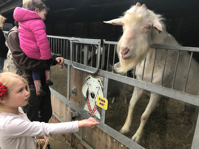 A girl feeding a white goat at Lee Valley Farms Essex