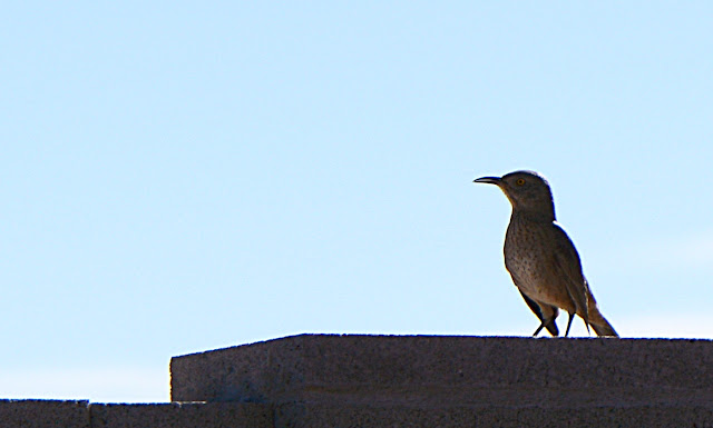 Toxostoma curvirostre, curve-billed thrasher, sonoran desert, small sunny garden, amy myers