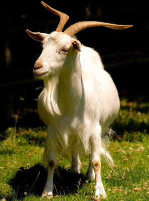 how to feed goats, feeding goats, feed goats, ways of feeding goats, ways for feeding goats
