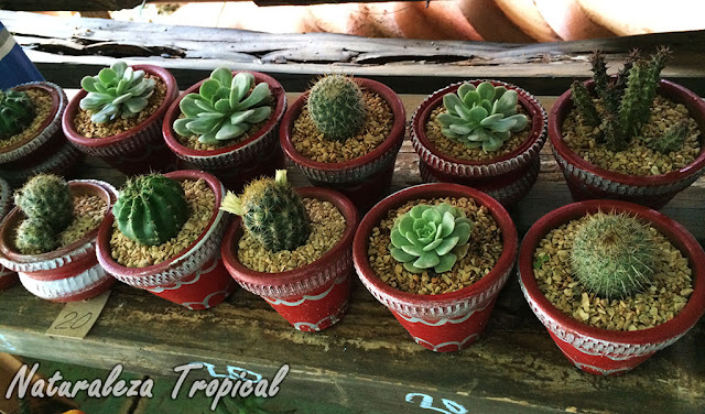 Cactus y suculentas a la venta en un punto de venta