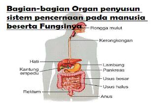 Bagian-bagian Organ penyusun sistem pencernaan pada manusia beserta Fungsinya