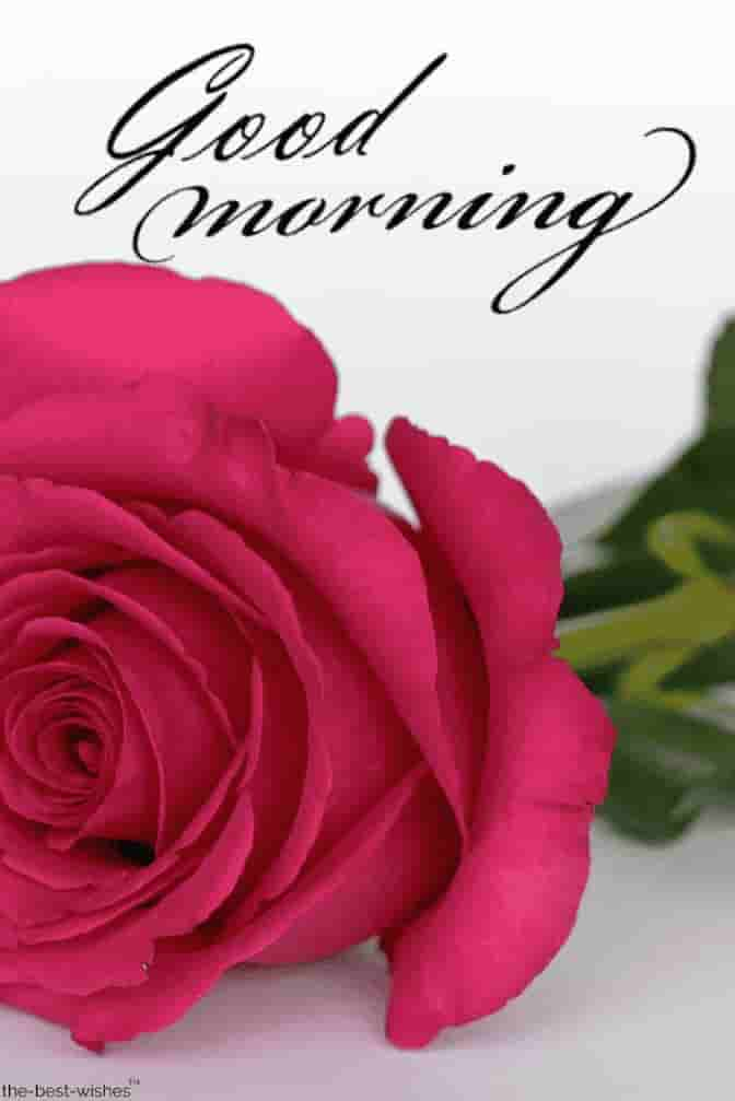 pink rose good morning images