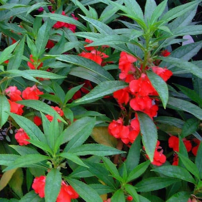 Salut Suer Comp Tanaman Hias Bunga Dan Daun Beserta Ciri Cirinya