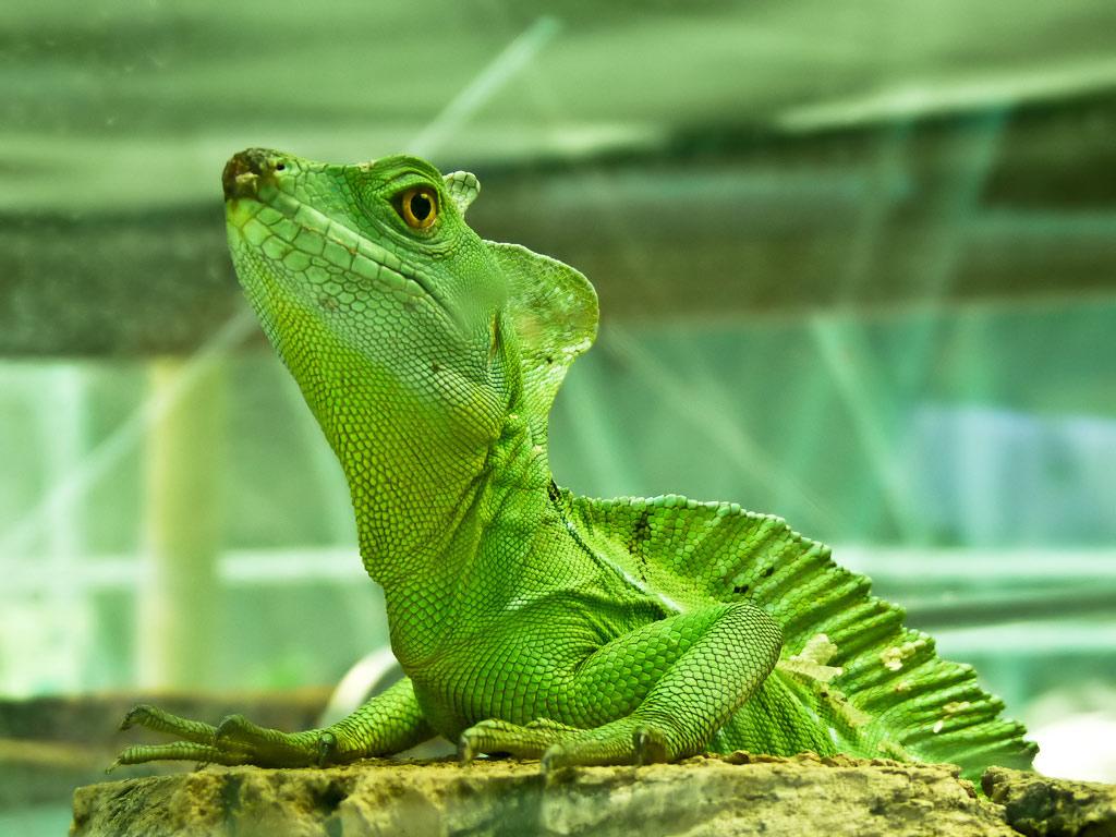Iguana Wallpapers - Funny Animals