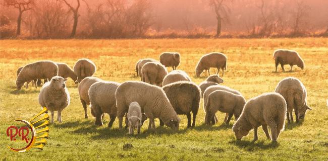 O estatuto da ovelha