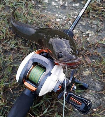 cara memancing ikan gabus dengan umpan tiruan, cara memancing ikan gabus malam hari, cara membuat umpan ikan gabus