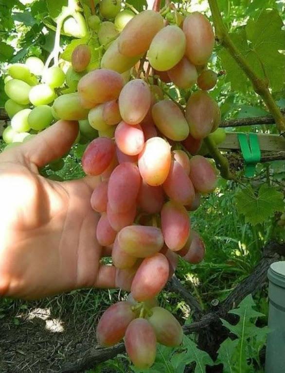 bibit anggur inport transfiguration unggulan Tanjungpinang