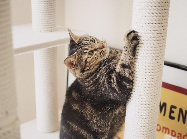 綿縄のポールで爪とぎをするキジトラ猫