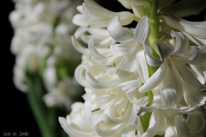 jacintos blancos