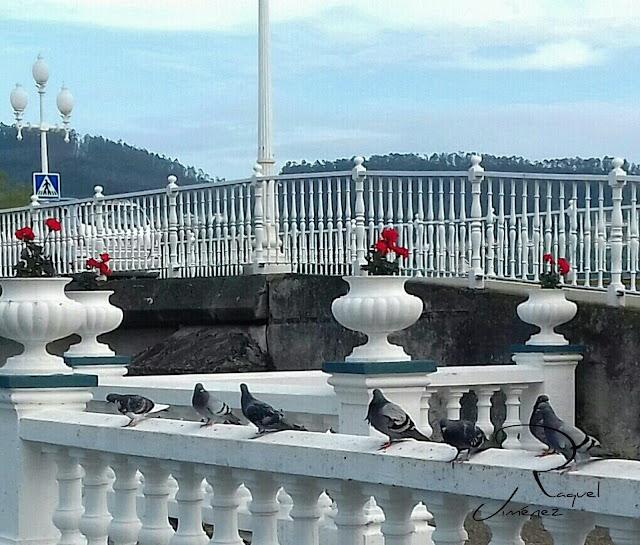 palomas en cedeira
