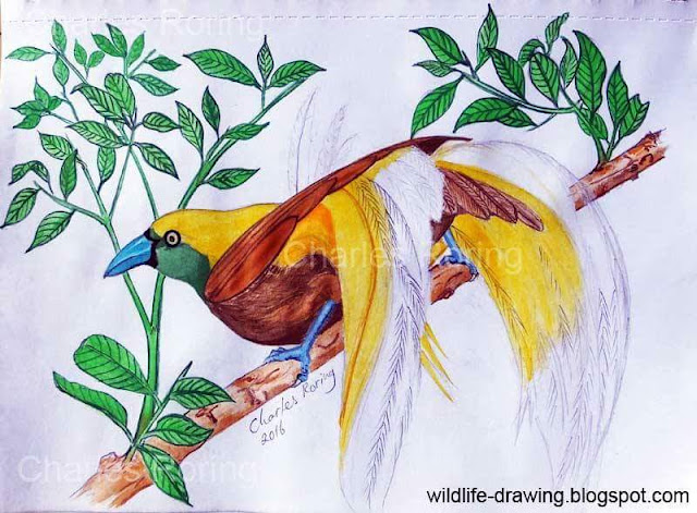 Colored pencil drawing of Lesser Birds of Paradise