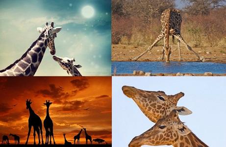 Zürafalar Hakkında İlginç Bilgiler