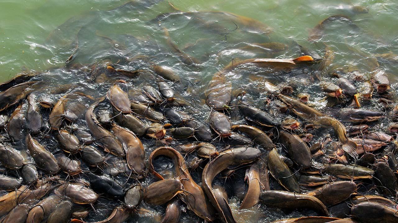 Tips Budidaya Ikan Lele Dengan Kolam Terpal Bagi Pemula